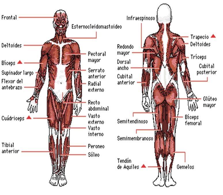 Tema 3 – Anatomía y fisiología humanas implicadas en la actividad ...