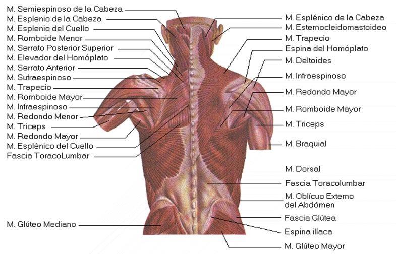 Lujoso Inferior Diagrama Anatomía Músculo De La Espalda Ornamento ...